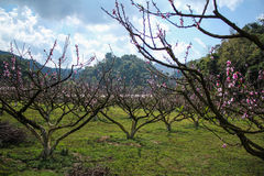 Peach flowering in the field. Prach orchard at Angkhang garden of Thailand which located at top of the mountain Stock Images