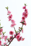 Peach flowers. Blossom in spring Royalty Free Stock Image