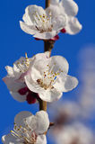 Peach flowers. Royalty Free Stock Photos