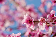 Peach flowers Royalty Free Stock Photo
