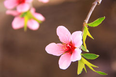 Peach flowers. Blossom in spring royalty free stock photography