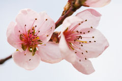 Peach flowers. Close up of pink peach tree flowers in blossom Royalty Free Stock Images