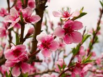 Peach flowers. In agriculture garden located in East Europe Stock Image