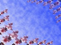 Peach flowers background. A spring background with peach flowers and a blue sky Stock Photography