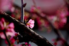 When peach flowers bloom. Peach flowers bloom in springtime royalty free stock images