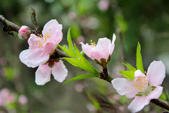 Peach flowers blooming in the garden in spring Royalty Free Stock Photo