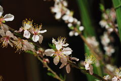 Peach flowers blooming. In the garden and sunny day many flowers royalty free stock images