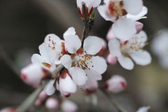 Peach flowers blooming. In the garden and sunny day many flowers royalty free stock photography