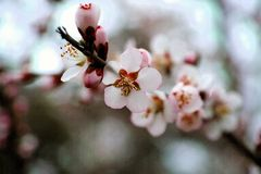 Peach flowers blooming. In the garden and sunny day many flowers royalty free stock image
