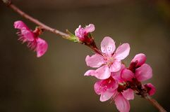 Peach flowers. Blooming peach flowers in spring stock images