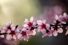 Peach flowers. Blooming peach flowers in spring stock image