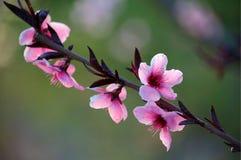 Peach flowers. Blooming peach flowers in spring royalty free stock image