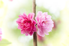 Peach flowers Stock Image