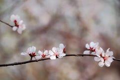 Peach flowers Stock Image