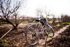 Peach flowers blossom and bicycle in Spring. Royalty Free Stock Image
