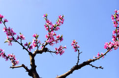 Peach flowers blossom Stock Image