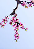 Peach flowers blossom Royalty Free Stock Image