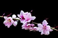 Peach flowers Stock Photo