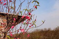 Peach flowers blossom in Spring. Spring in the home. Royalty Free Stock Photos