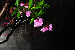 Peach flowers blossom Royalty Free Stock Images