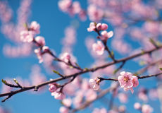 Peach flowers Royalty Free Stock Images
