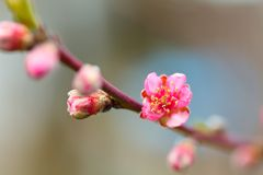 Peach flowers on a branch Stock Images