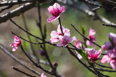 Peach flowers branch Stock Photography