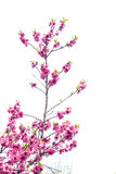 Peach flowers Royalty Free Stock Photo