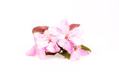Peach flowers composition. On a white background Royalty Free Stock Image