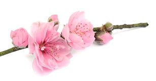 Peach flowers. Isolated. Branch, beauty royalty free stock images