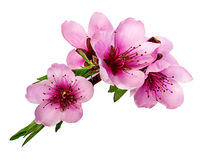 Peach flowers isolated. On white Stock Images
