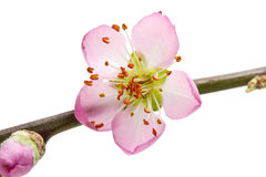 Peach flowers isolated on white background Stock Photos