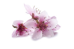 Peach flowers isolated on a white background Stock Photography