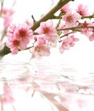 Peach flowers and its reflection. Over white Stock Photo