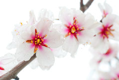 Peach flowers macro Royalty Free Stock Photography