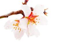 Peach flowers macro Stock Photos
