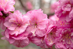 Peach flowers. In a park, Beijing Royalty Free Stock Image