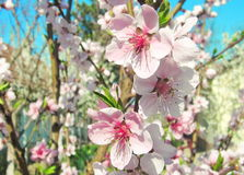 Peach flowers. Photography of peach flowers tree Stock Photo