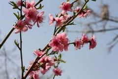 Peach  flowers. Stock Photos