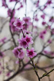 Peach  flowers. Royalty Free Stock Photos