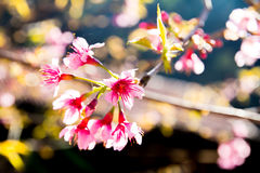 Peach flowers Stock Photography