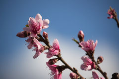 Peach flowers Stock Photo