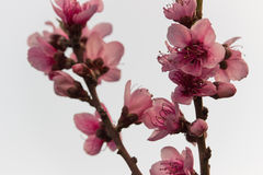 Peach flowers stock photos