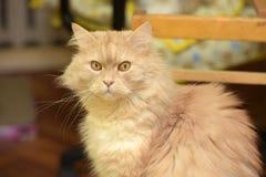 Peach fluffy cat Royalty Free Stock Photo
