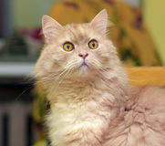 Peach fluffy cat Stock Images