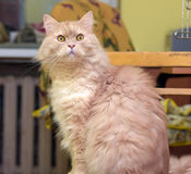 Peach fluffy cat Stock Image