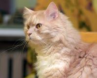 Peach fluffy cat Royalty Free Stock Photos
