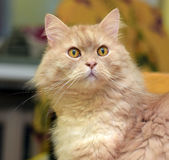 Peach fluffy cat Royalty Free Stock Image