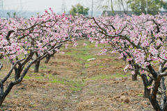 Peach forest. In Yangshan village ,wuxi,jiangsu,china Royalty Free Stock Image