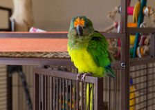 Peach fronted conure fluffed up Stock Photos